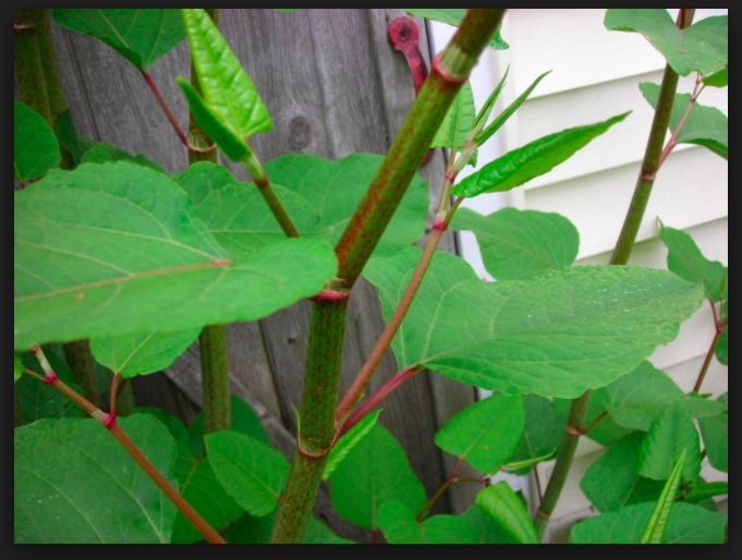 Why Should I Worry About Japanese Knotweed?