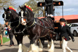 Robinsons Shire Horses trotting out for Shire Horse National Show
